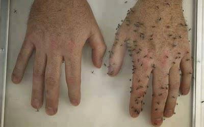 Différence entre protection avec l'insectifuge maison et sans protection.